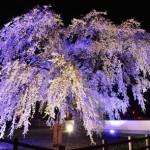 【mį】法亀寺と桜回廊 夜桜撮影練習会