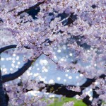【mį】五稜郭公園で桜撮影♬
