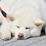 【mį】秋田犬保存会 第9回北海道道南支部展覧会を見に行って来ました♬