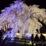 【mį】大野川沿い桜並木と法亀寺しだれ桜の夜桜ライトアップを歩いて来ました♬