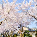 【mį】函館 桜ヶ丘通り桜並木を撮って来ました♬ 4K動画あり